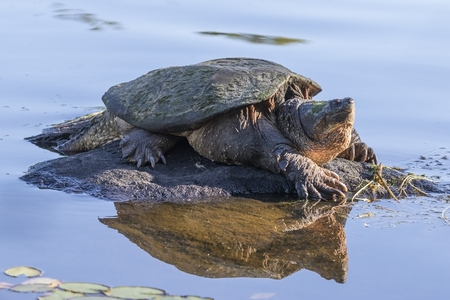 Photo for Large Common Snapping Turtle (Chelydra serpentina) basking on a rock - Haliburton, Ontario, Canada - Royalty Free Image