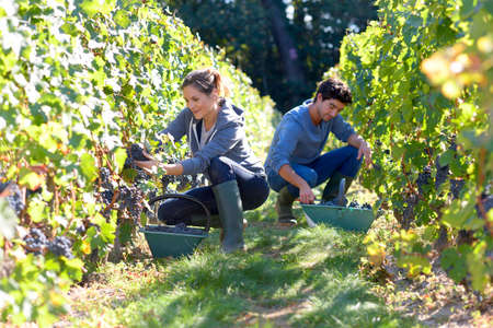Photo pour Young people working in vineyard during harvest season - image libre de droit