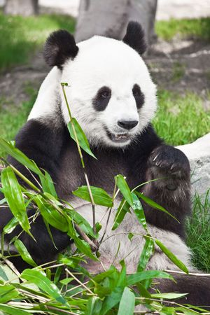 Photo pour Giant panda is eating green bamboo leaf - image libre de droit