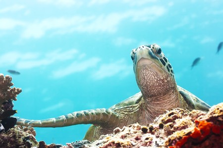 Photo pour Green Turtle underwater close-up. Sipadan. Celebes sea - image libre de droit