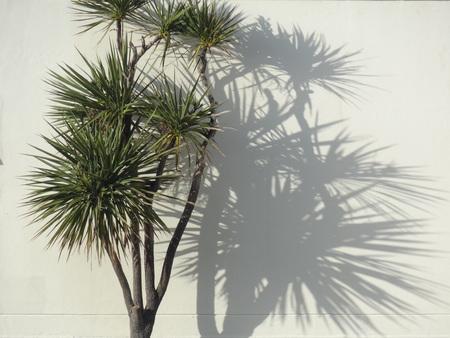 Foto de New Zealand cabbage tree palm with shadow - Imagen libre de derechos