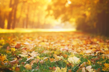 Foto de fallen autumn leaves on grass in sunny morning light, toned photo - Imagen libre de derechos