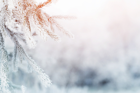 Photo pour fir branch in hoar frost on cold morning, toned photo - image libre de droit