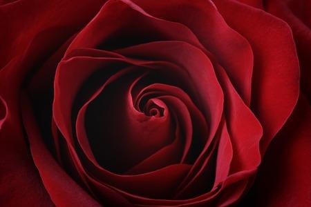 dark red rose close up shot, shallow focus