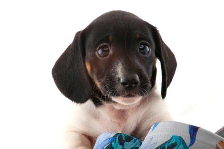 Dachshund dog puppy shoes