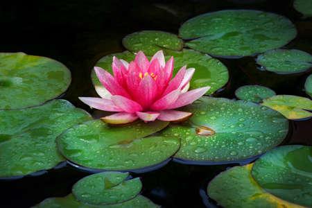 Photo pour Pink Water lily garden - image libre de droit