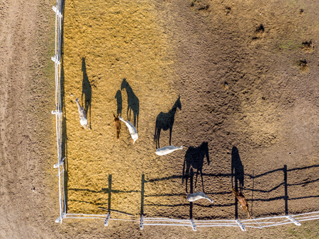 Photo for Group of thoroughbred horses walking and grazing in paddock near stable. Long evening afternoon shadow. Beautiful animals at farm or ranch. Aerial top view from drone. - Royalty Free Image