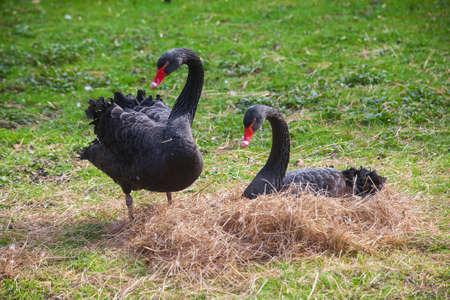 Photo pour Beautiful black swan sitting on a nest - image libre de droit