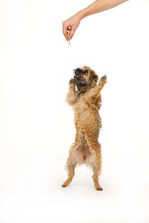 Foto de beautiful little dog is dancing for food - Imagen libre de derechos