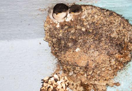 Photo pour Bbs swallows in the nest - image libre de droit