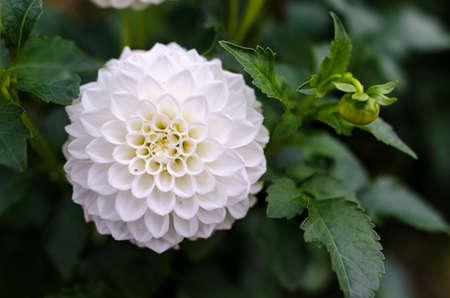 Photo for White dahlia flower detail - Royalty Free Image