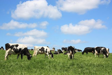 Contented black and white Holstein Friesian dairy cows grazing in a lush field