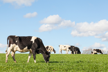 Photo for Black and white Holstein dairy cow grazing in a green pasture on the skyline against a blue sky and white clouds with copy space with the cattle herd in the background - Royalty Free Image