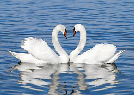 Foto de couple of white swans - Imagen libre de derechos