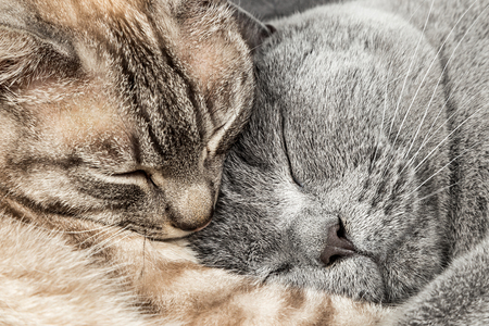 Photo for closeup of two sleeping cuddling cats together thai siam and british shorthair pet couple - Royalty Free Image