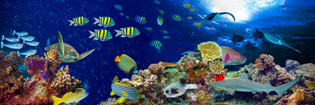 Photo pour underwater coral reef landscape wide panorama background  in the deep blue ocean with colorful fish and marine life - image libre de droit