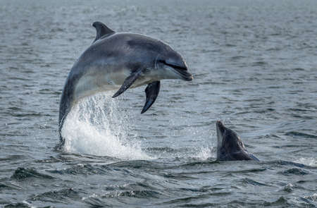 Photo pour Wild Bottlenose Dolphins Jumping Out Of Ocean Water At The Moray Firth Near Inverness In Scotland - image libre de droit