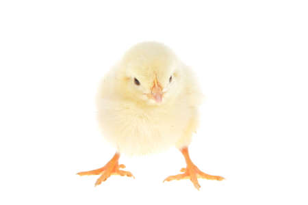 live little yellow chicken animal isolated on white background