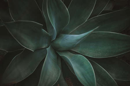 Photo pour Green agave leaves. Low key modern style toned background image - image libre de droit