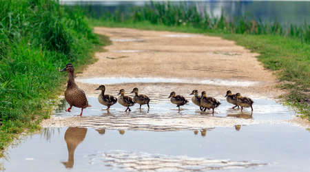 Photo for A duck and with ducklings crossing a path - Royalty Free Image