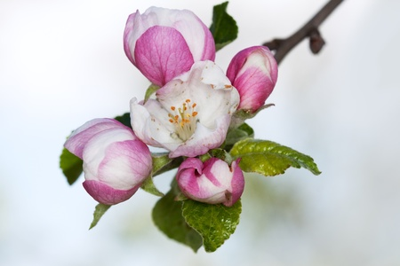 Photo for apple blossom close-up. White flowers - Royalty Free Image