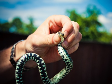 Handling of a grass snake (Natrix natrix) being demonstrated