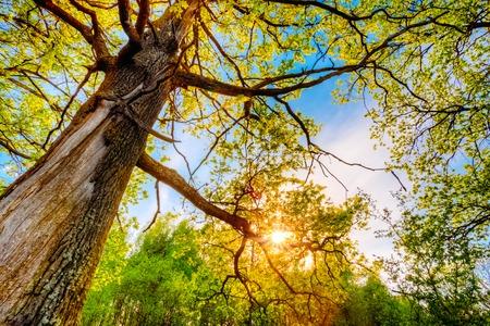 Foto de Spring Sun Shining Through Canopy Of Tall Oak Trees. Upper Branches Of Tree. Sunlight Through Green Tree Crown - Low Angle View. - Imagen libre de derechos