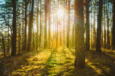 Photo pour Sunset Sunrise In Spring Coniferous Forest Trees. Nature Woods. HDR - image libre de droit