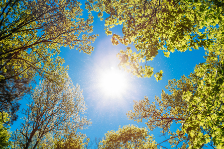 Foto de Spring Summer Sun Shining Through Canopy Of Tall Trees. Sunlight In Deciduous Forest, Summer Nature, Sunny Day. Upper Branches Of Tree With Fresh Green Foliage. Low Angle View. Woods Background - Imagen libre de derechos