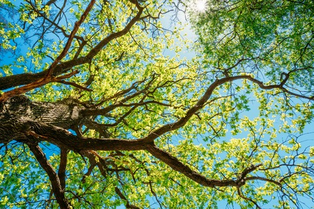 Photo for Spring Sun Shining Through Canopy Of Tall Tree. Sunlight In Deciduous Forest, Summer Nature, Sunny Day. Upper Branches Of Tree With Fresh Green Foliage. - Royalty Free Image