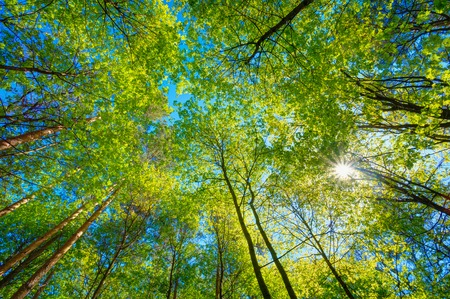 Foto de Spring Summer Sun Shining Through Canopy Of Tall Trees. Sunlight In Deciduous Forest, Summer Nature. Upper Branches Of Tree. Low Angle View. Woods Background. - Imagen libre de derechos