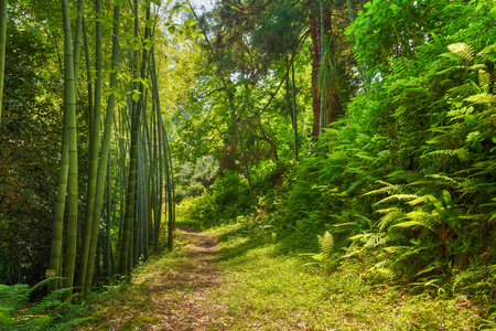Photo for Beautiful Road Lane Path Way Through Summer Bamboo Forest Woods And Fern Bushes. Nobody - Royalty Free Image