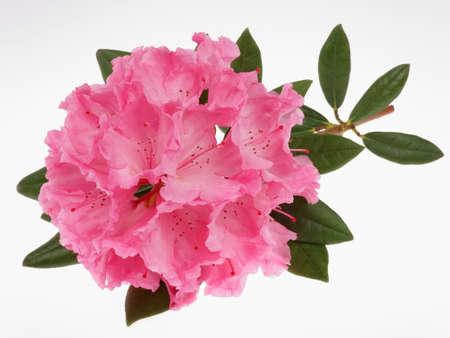 Photo pour rhododendron - image libre de droit