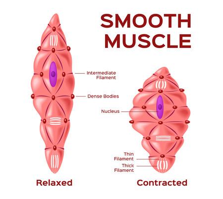 Ilustración de smooth muscle cell vector . anatomy . relaxed and contracted muscle cell - Imagen libre de derechos