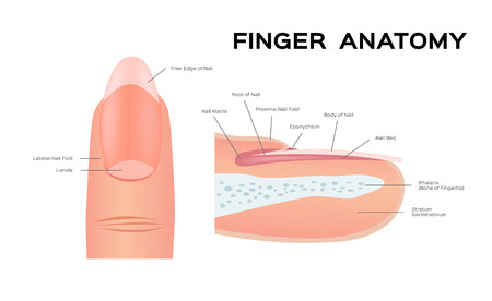 Foto per Structure of a Nail. human Nail . anatomy - Immagine Royalty Free
