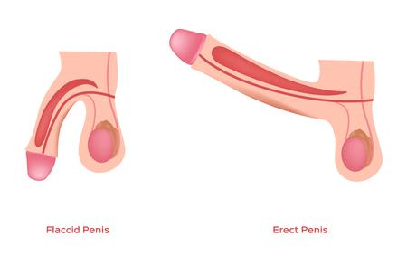Illustrazione per erect and flaccid penis and dick vector / sex education / graphic - Immagini Royalty Free