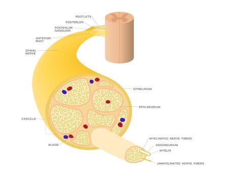 Illustration pour nerve system anatomy vector - image libre de droit