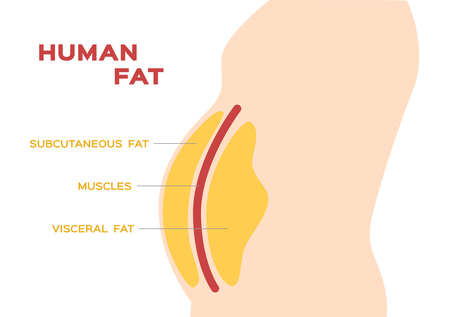 Ilustración de human belly and abdomen fat layer vector / subcutaneous and visceral fat - Imagen libre de derechos