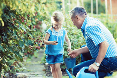 Photo for Granddaughter is picking up blackberry with her grandfather in the garden. - Royalty Free Image