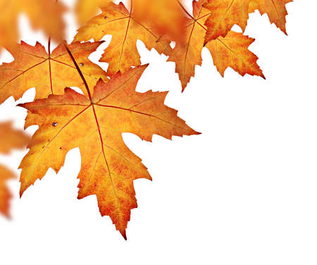 Foto de Orange fall leaves border, isolated on a white background - Imagen libre de derechos