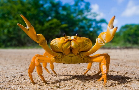 Photo for Land crab yellow in Cuba. - Royalty Free Image