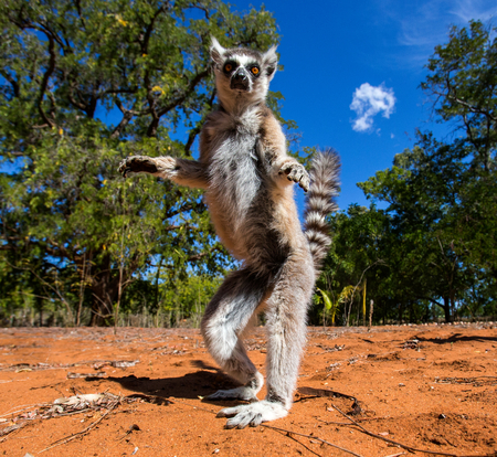 Photo pour Ring-tailed lemur in Madagascar - image libre de droit