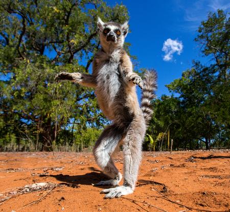 Foto de Ring-tailed lemur in Madagascar - Imagen libre de derechos
