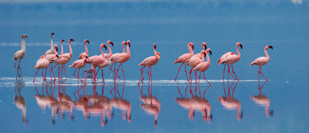 Photo for Flamingos on the lake with reflection. Kenya. Africa. Nakuru National Park. Lake Bogoria National Reserve. An excellent illustration. - Royalty Free Image