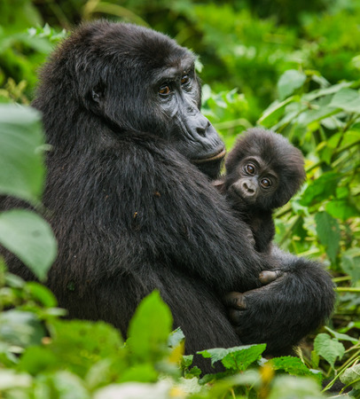 Photo for A female mountain gorilla with a baby. Uganda. - Royalty Free Image