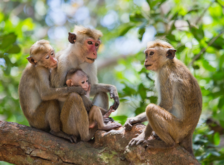Photo for Family of monkeys sitting in a tree. Funny picture. Sri Lanka. - Royalty Free Image