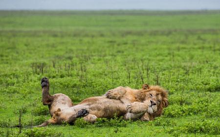 Photo pour Big male lion lying in the grass. Serengeti National Park. Tanzania. An excellent illustration. - image libre de droit