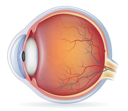 Ilustración de Human eye anatomy, detailed illustration. Isolated on a white bacground. - Imagen libre de derechos
