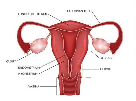 Ilustración de Uterus and ovaries, organs of female reproductive system - Imagen libre de derechos