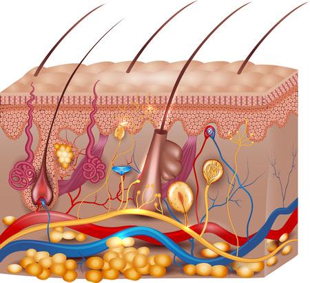 Illustrazione per Skin anatomy. Detailed medical illustration, beautiful bright colors. - Immagini Royalty Free